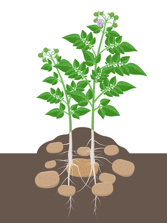 Potato plant with leaves and tubers beginning to swell in the ground vector illustration isolated on white background