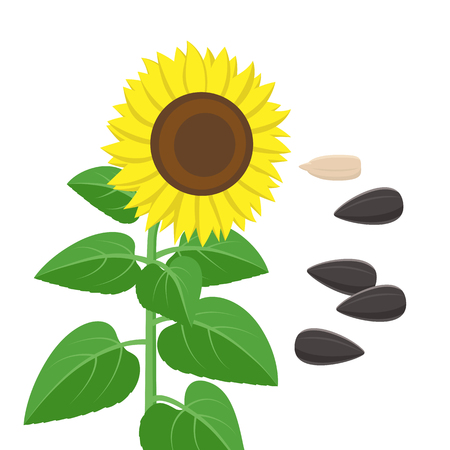 Sunflower with green leaves and seeds in flat style isolated on white background. Vector Illustration of sunflower plant flowering and fruit-bearing, seedling