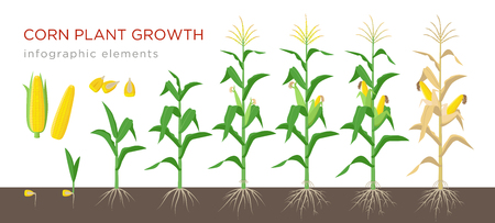 Corn growing stages vector illustration in flat design. Planting process of corn plant. Maize growth from grain to flowering and fruit-bearing plant isolated on white background. Ripe corn and grains 일러스트