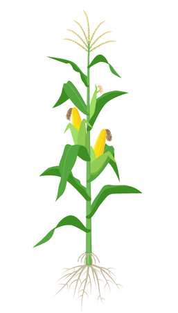 Maize plant isolated on white background with yellow corncobs, green leaves and roots vector illustration in flat design