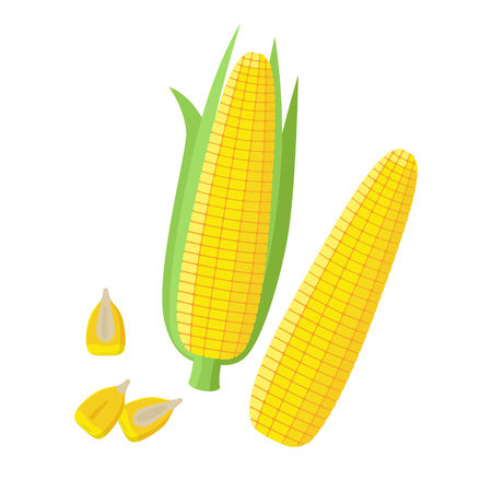 Corn ear, Ripe corn cobs, corn seeds, grains vector illustration in flat design isolated on white background. Peeled maize, piece and seeds