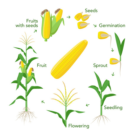 Maize plant growth infographic elements from seeds to fruits, mature corn ears. Seedling, germination, planting, flowering. Vector encyclopedic illustration. Corn life cycle in flat design