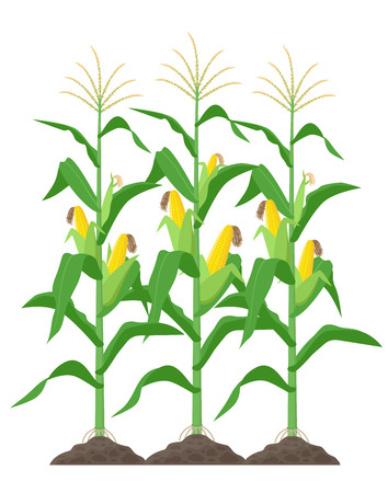 Corn stalks isolated on white background. Green corn plants on the field vector illustration in flat design