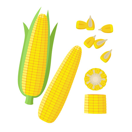 Corn ear, Ripe corn cobs, corn seeds, grains vector illustration in flat design isolated on white background. Maize collection, peeled, piece and seeds Illustration