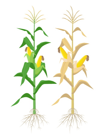 Ripe Maize plants isolated on white background with yellow corncobs vector illustration in flat design. Mature corn plant with ears on a stalk Illustration
