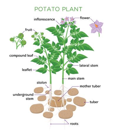 Ilustración de vector de planta de papa en diseño plano. Diagrama de crecimiento de papa con partes de planta, tubérculos, tallo, raíces, flores, semillas aisladas sobre fondo blanco