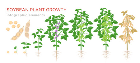 Soybean plant growth stages infographic elements. Growing process of soya beans from seeds, sprout to mature soybeans, life cycle of plant isolated on white background vector flat illustration