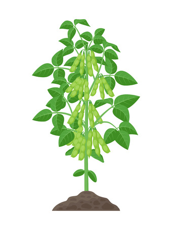 Soybean plant vector illustration isolated on white background. Soya bean in flat design growing in the soil with green pods and foliage.