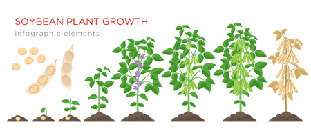 Éléments infographiques des étapes de croissance des plantes de soja. Processus de croissance des graines de soja à partir de graines, germes à maturité des graines de soja, cycle de vie de la plante isolée sur fond blanc illustration vectorielle à plat