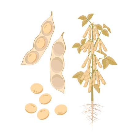 Ripe soybean plant with open pods and seeds isolated on white background vector illustration in flat design