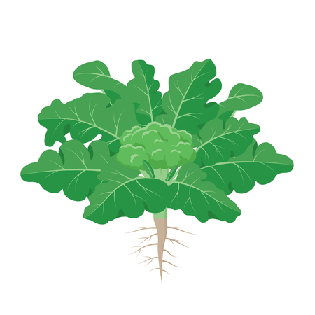 Broccoli plant with the ripe broccoli fruit among big green leaves with roots vector illustration isolated on white background