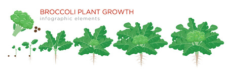 Broccoli plant growth stages infographic elements. Growing process of broccoli from seeds, sprout to mature plant with roots, life cycle of plant isolated on white background vector flat illustration