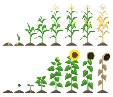 Etapas de crecimiento de plantas de maíz y girasol ilustración vectorial en diseño plano. Etapas de crecimiento de maíz y girasol desde la semilla hasta la floración y elementos infográficos frutales aislados en blanco
