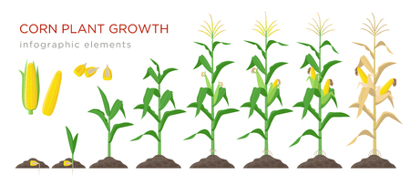 Corn growing stages vector illustration in flat design. Planting process of corn plant. Maize growth from grain to flowering and fruit-bearing plant isolated on white background. Ripe corn and grains Illustration