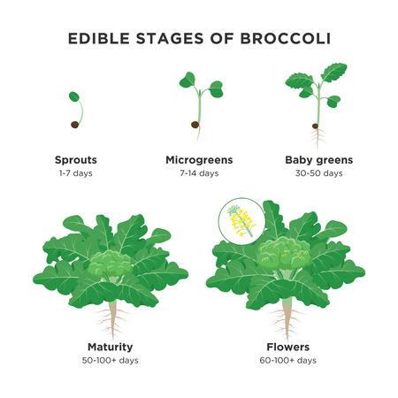 Essbare Stufen von Brokkoli-Infografik-Elementen in flachem Design. Brokkoli-Pflanzen-Wachstumsprozess einschließlich Sprossen, Microgreens, Baby Greens, Reife und Brokkoli-Röschen einzeln auf weißem Hintergrund