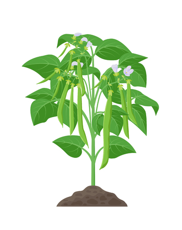 Bean mature plant vector stock illustration in flat design. Beans growing from soil with green bean pods isolated on white background. Illustration