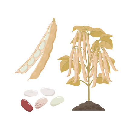 Ripe haricop bean plant with open pods and seeds isolated on white background vector illustration in flat design