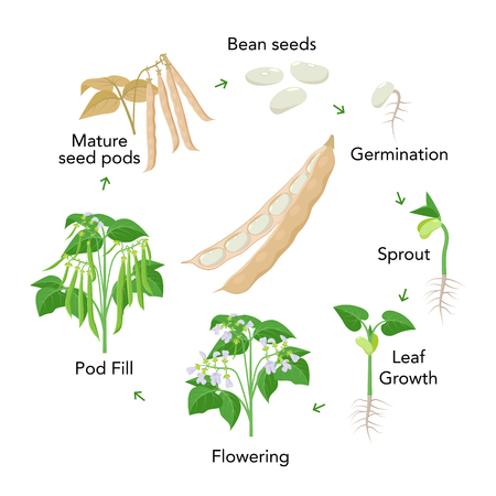 Bean plant growth stages infographic elements in flat design. Planting process of beans from seeds, sprout to ripe vegetable, plant life cycle isolated on white background, vector stock illustration