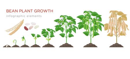 Fasi di crescita delle piante di fagioli elementi infografici in design piatto. Processo di piantagione di fagioli dai semi germogliano alla verdura matura, ciclo di vita della pianta isolato su fondo bianco, illustrazione di stock Vettoriali
