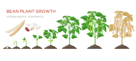 Bean plant growth stages infographic elements in flat design. Planting process of beans from seeds sprout to ripe vegetable, plant life cycle isolated on white background, vector stock illustration
