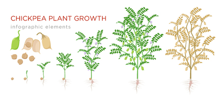 Chickpea plant growth stages infographic elements. Growing process of chickpeas from seeds, sprout to mature plant fruit-bearing with roots vector illustration life cycle isolated on white background 일러스트