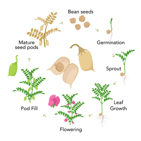 Chickpea plant growth stages infographic elements in flat design. Planting process of gram from seeds, sprout to ripe vegetable, plant life cycle isolated on white background vector stock illustration