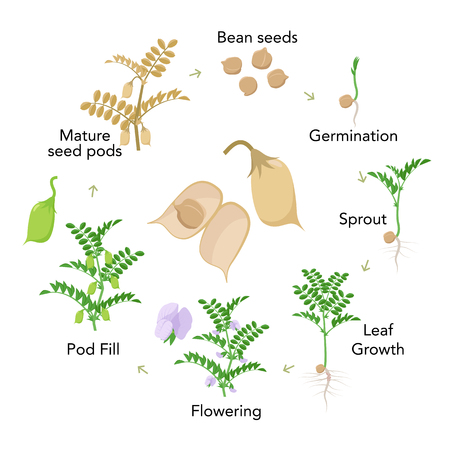 Chickpea plant growth stages infographic elements in flat design. Planting process of gram from seeds, sprout to ripe vegetable, plant life cycle isolated on white background vector stock illustration.
