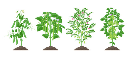 Legume plants with ripe fruits growing from soil isolated on white background. Pea, Common bean, Chickpea, Soybean mature plants with pods and green foliage, botanical infographic elements 일러스트