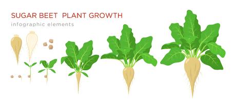Das Wachstum von Zuckerrübenpflanzen inszeniert Infografikelemente. Wachstumsprozess von Zuckerrüben aus Samen, Sprossen zu reifen Pflanzen mit reifen Früchten und Wurzeln, Vektorillustration einzeln auf weißem Hintergrund