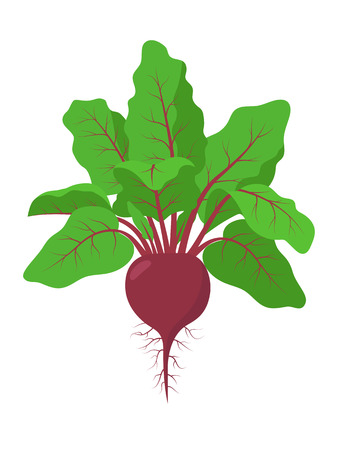 Beetroot plant with roots, vector illustration isolated on white background. Mature beetroot fruit with beet greens, foliage