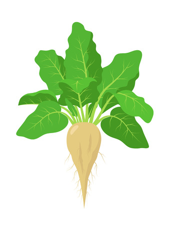 Sugar beet plant with roots, vector illustration isolated on white background. Mature sugar beet root, fruit with green foliage Çizim