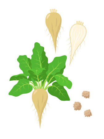 Sugar beet with green foliage, seeds and sliced sugar beet fruit vector illustration isolated on white background.