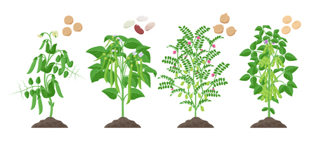 Legumes plants with ripe fruits growing from soil isolated on white background. Pea, Common Bean, Chickpea, Soybean mature plants with pods and green foliage and their ripe seeds infographic element