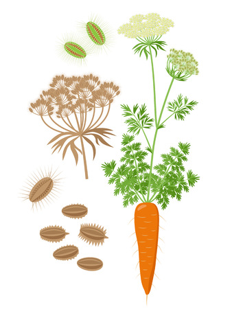 Carrot plant with compound umbel and inflorescence and seeds Botanical set of Illustrations in flat design isolated on white background. Ripe carrot plant vector illustration