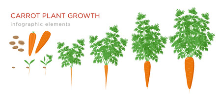 Carrot plant growth stages infographic elements. Growing process of carrot from seeds, sprout to mature taproot, life cycle of plant isolated on white background vector flat illustration