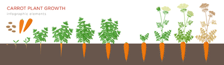 Carrot plant growth stages infographic elements. Growing process of carrot from seeds, sprout to mature taproot, life cycle of biennial plant isolated on white background vector flat illustration 일러스트