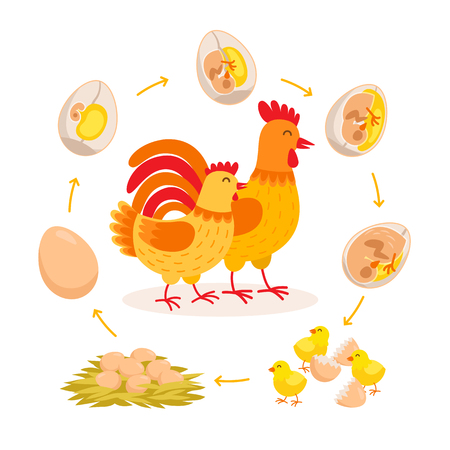 Chicken life cycle, embryo development from egg to hatching chicken. Cute hen and Rooster having babies chicks cartoon characters isolated on white background. Vector illustration in flat style.