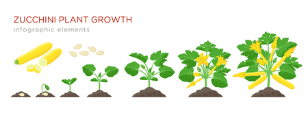 Zucchini plant growth from seed, sprout, flowering and mature plant with ripe fruits. Growing stages of squash vector illustration in flat design. Infographic elements isolated on white background