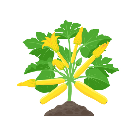 Yellow Zucchini plant with beautiful Squash blossoms isolated on white background. Vector botanical illustration of yellow courgette plant 일러스트