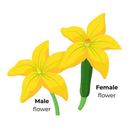 Zucchini Male and Female blossom isolated on white background. Yellow Squash flowers botanical illustration in flat design. Infographic elements