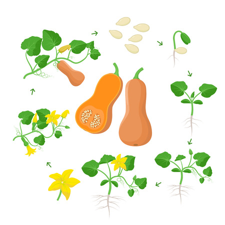 Cucurbita moschataplant growth stages infographic elements in flat design. Life cycle of Butternut squash from seeds, sprout to ripe pumpkin fruit, life cycle isolated on white background.