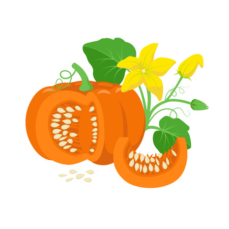 Orange pumpkin vegetable with green leaves, yellow blossoms and pumpkin seeds botanical illustration isolated on white background. Cucurbita pepo fruit in flat design. Cross section of pumpkin