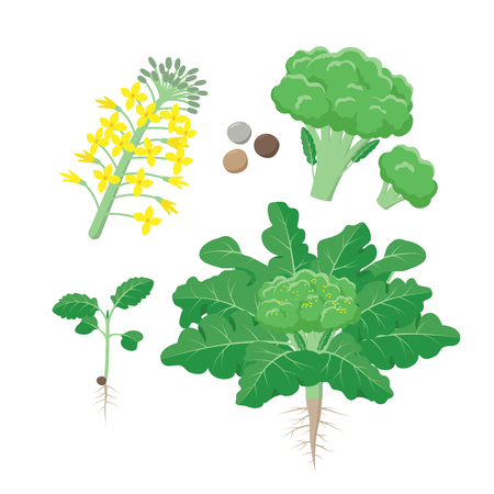 Broccoli plant life cycle, growing stages, set of elements in flat design isolated on white background. Broccoli growth infographic elements.