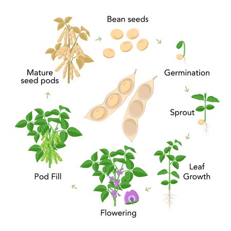 Soybean plant growth stages infographic elements in flat design. Planting process from seeds, sprout to ripe vegetable, soya bean life cycle isolated on white background, vector stock illustration. Illustration