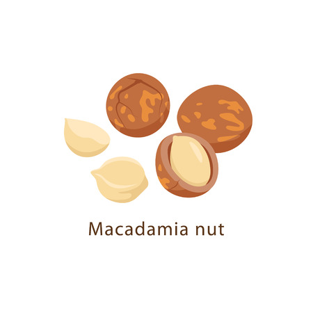 Macadamia nuts isolated on white background vector illustration in flat design.