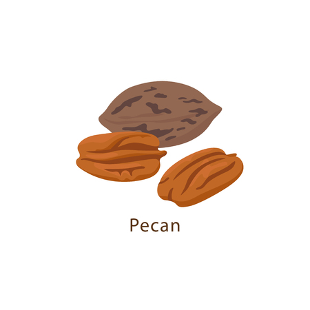 Pecan nut isolated on white background vector illustration in flat design.