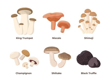Mushrooms set of vector illustrations in flat design isolated on white background. King oyster, niscalo, shimeji, champignon, shiitake, black truffle edible mushrooms, infographic elements