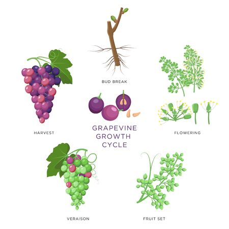 Grapevine growth infographic elements isolated on white, flat design set. Planting process of grape from seeds, bud break, flowering, fruit set, veraison, harvest, ripe grape bunch. Grape growth.