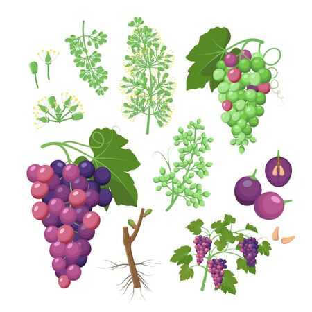 Grapevine growth set of infographic elements isolated on white, flat design illustrations. Planting process of grape from seeds, bud break, flowering, fruit set, veraison, harvest, ripe grape bunch. 일러스트
