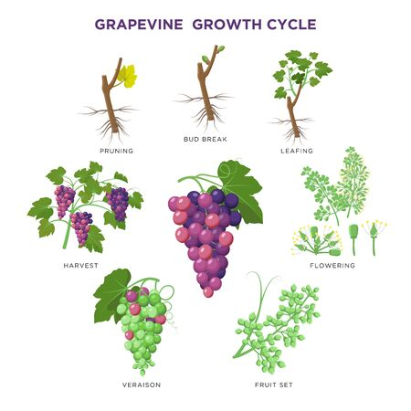 Grapevine plant growing infographic elements isolated on white, illustrations flat design. Planting process of grape from seeds, bud break, flowering, fruit set, veraison, harvest, ripe grape bunch. Illustration